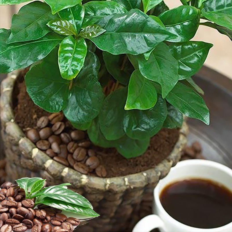 кофе альберт карликовый выращивание из семян